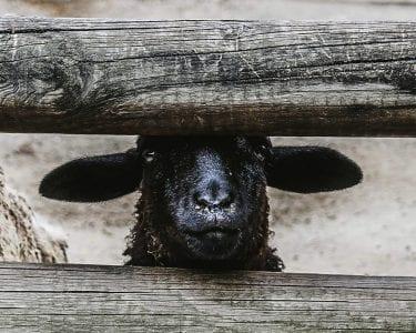 black sheep, digital nomad